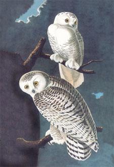 Audubon_snowy_owl_poster-print